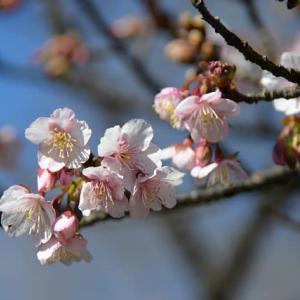 新宿御苑 早咲きのサクラが咲いています 10