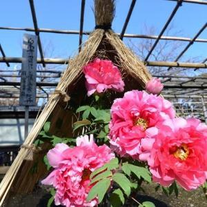 上野東照宮 寛永寺五重塔をバックに素晴らしい冬ボタン 4