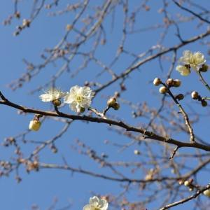 赤塚公園の梅林に行きます 5