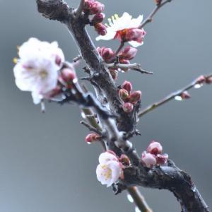 家で咲いている雨に濡れる梅の花 59