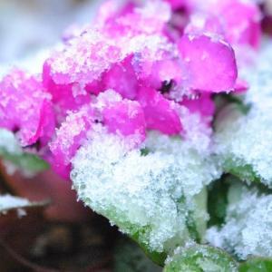 家の花 春なのに雪が降る中の花たち 95