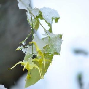 家の花 雪が降る中のショウジョウバカマの実 99