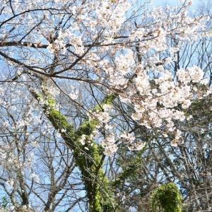 小石川植物園にさくらを見にゆきます 1