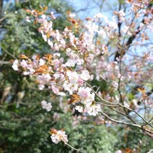 小石川植物園 オオアマナの白い花が咲いています 2