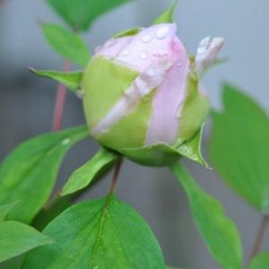 庭の花 オドリコソウの変わった花 2-19