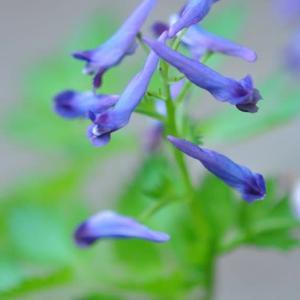 庭の花 ミヤコワスレの開き出す姿 2-20