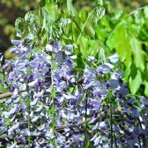 庭の花 藤の花が垂れ下がる 2-21