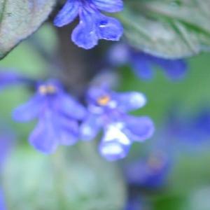 庭の花 アジュガの可愛い姿 2-33