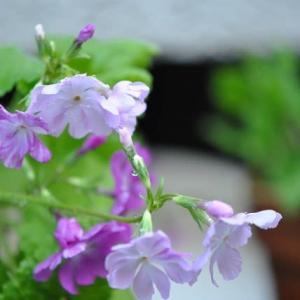 庭の花 雨上がり日本桜草の花 2-35