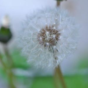 庭の花 タンポポの穂ほか可憐な花たち 2-37