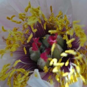 庭の花 牡丹の花が咲き出す 2-38