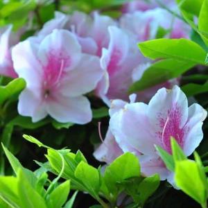 早朝の散歩で緑地に咲くつつじ等の花たち 1