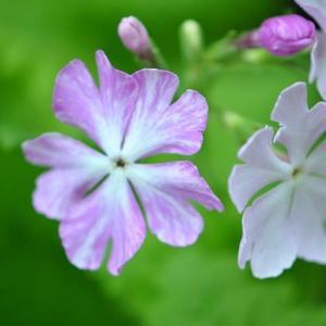 庭の花 日本桜草の花が咲き出す 2-39