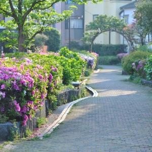 早朝の散歩でツルニチニチ草を見ながら歩く 2