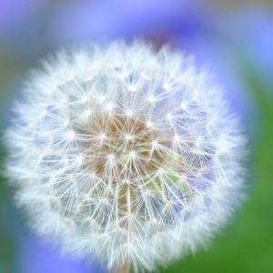 庭の花 タンポポの穂 2-43
