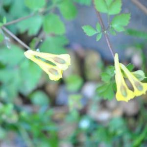 庭の花 キケマン草の面白い形の花 2-44