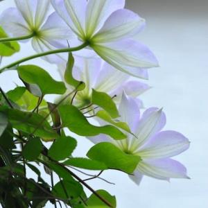 庭の花 テッセンが咲き出す 2-46