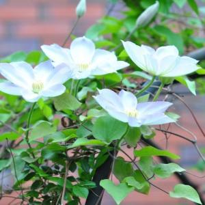 庭の花 オドリコソウの面白い形の花 2-47