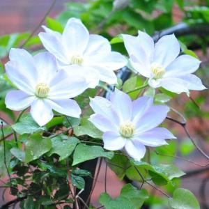 庭の花 雨の中に咲くテッセン 2-48