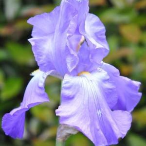 谷端川緑地 ジャマンアイリスの花が咲いています 14