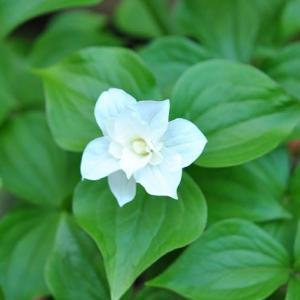 庭の花 ヒメエンレイソウが育って着ました 2-55