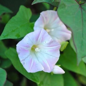 朝の散歩で会った花 ヒルガオの花が咲いています 15