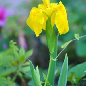 朝の散歩で会った花 黄ショウブの花も咲いています 18
