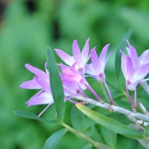 庭の花 可憐な花セッコクが咲き出す 2-59