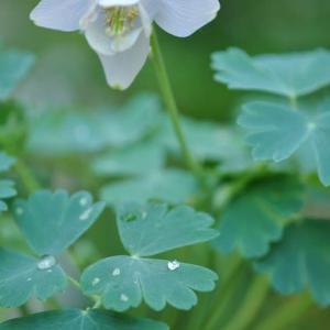 庭の花 オダマキの花は可愛い 2-60
