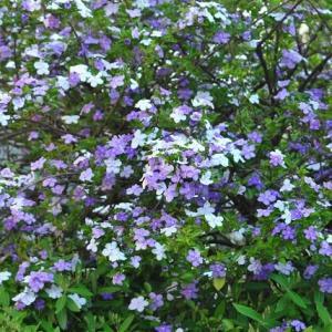 朝の散歩で会った ニオイバンマツリの色違い花 23