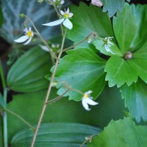 庭の花 ユキノシタの可愛い花 2-66
