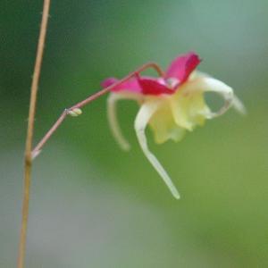 庭の花 可愛い花の赤いイカリ草 2-68