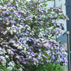 朝の散歩で会った ニオイバンマツリの甘い香り 25