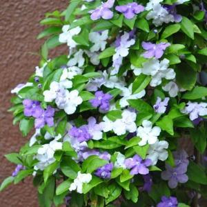 庭の花 良い香りのニオイバンマジックの花 2-70