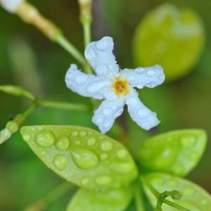 庭の花 テイカズラの香り 2-71