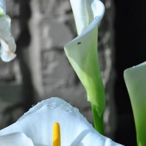 朝の散歩で会った カラーの白い清楚な花 26