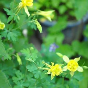 庭の花 黄オダマキが咲きました 2-73
