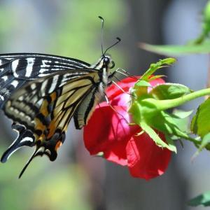 庭の花 アゲハチョウの飛来 2-74
