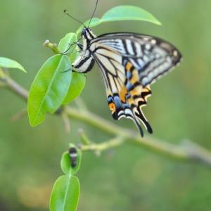 庭の花 アゲハチョウがミカンの木に卵を産む 2-75