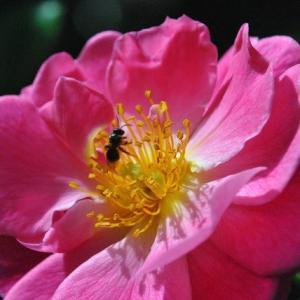 庭の花 バラに蜂が舞い飛ぶ 2-76
