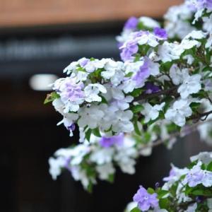 朝の散歩で会った ニオイバンマツリの花 29