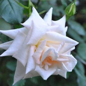 庭の花 雨降る時のバラたち 2-78