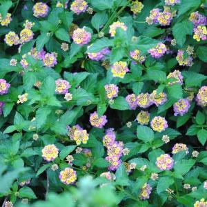 朝の散歩で会った ランタナの花が一面に咲き出した 30