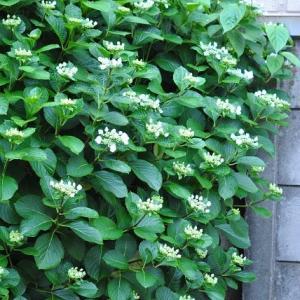 朝の散歩で会った あじさいの花が雨に濡れて綺麗 31