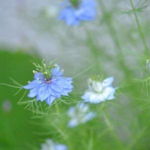 庭の花 ニゲラグリーンマジックの可憐な色 2-81