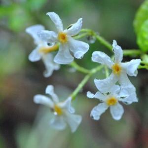 庭の花 テイカズラの甘い香りに水滴 2-83