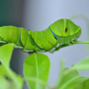 庭の花 アゲハチョウの幼虫が緑色に育つ  2-84
