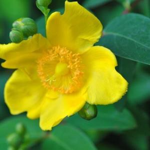 朝の散歩で会ったビヨウヤナギの花  33