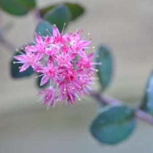 庭の花 ベンケイソウが咲き出す  2-85