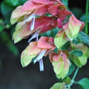 朝の散歩で会ったエビの様に見えるコエビソウの花  34